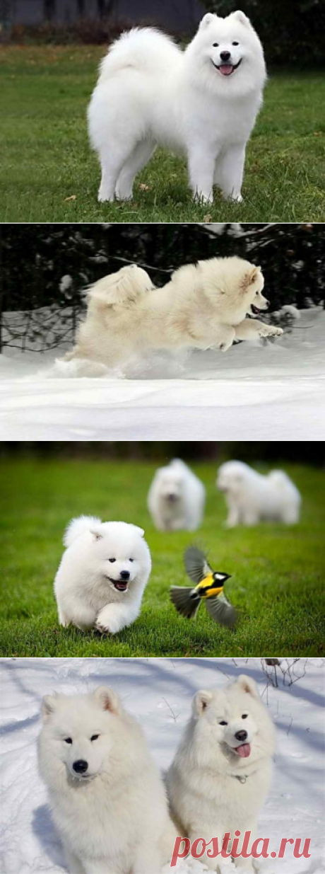 Самоедская лайка - белая порода собак, характеристики и история названия