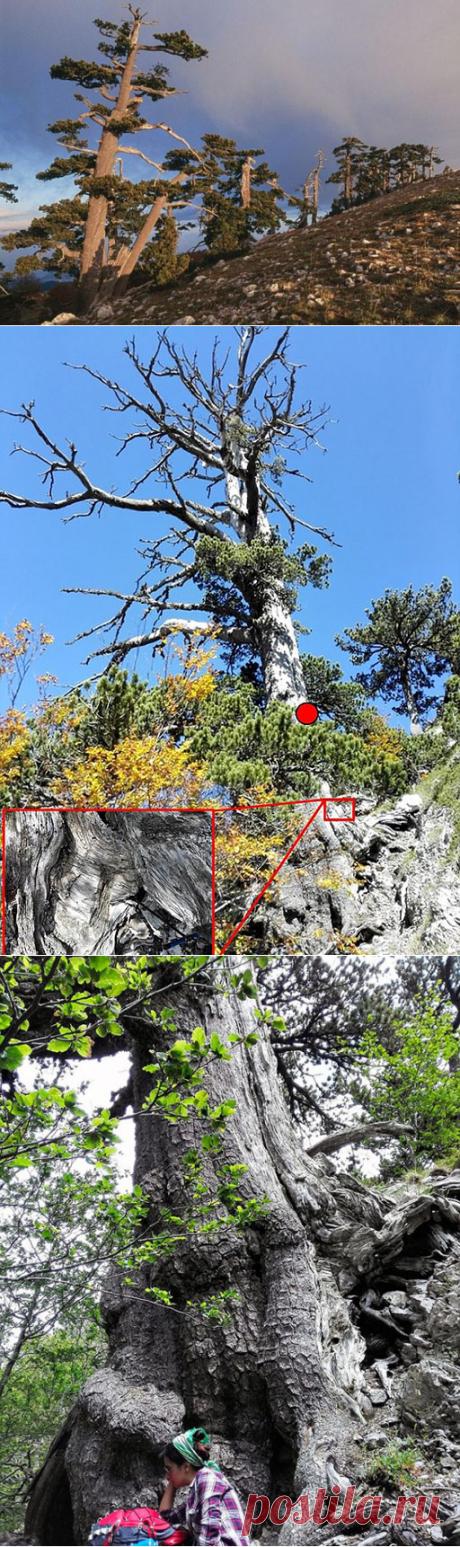 Сколько лет самому старому дереву в Европе, и где можно его увидеть