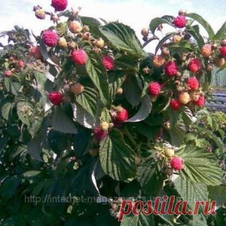 Поздние и ранние сорта саженцев малины в ассортименте «Плодсад» - Страница 2 Страница 2 - Великолепные саженцы малины поздних, ранних и средних сортов, дающие крупные, темнокрасные и сочные ягоды в большом количестве