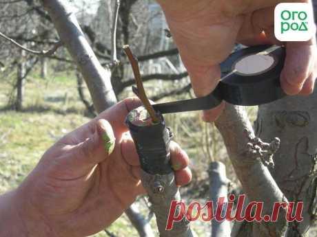 Как привить грушу весной – подробная пошаговая инструкция (фото)