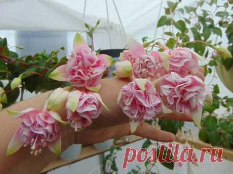 natasha sinton Полуампельная форма. Огромные густомахровые палево-розовые цветы-помпоны