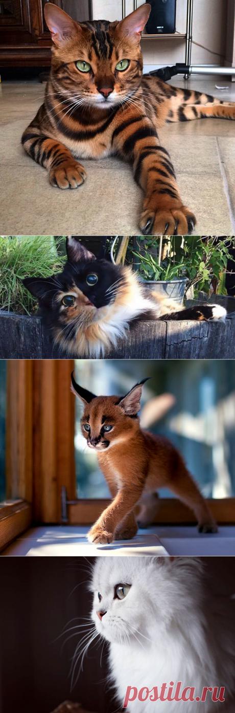 El milagro velloso: 29 fotografías de los gatos hermosos de todo el mundo