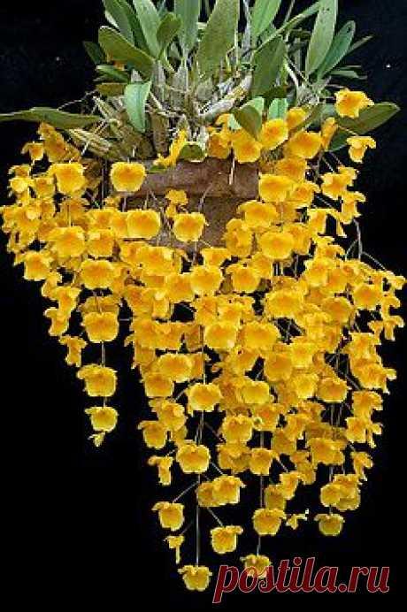 орхидеи видов из материковой Юго-Восточной Азии