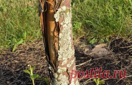 5 причин, почему кора плодовых деревьев трескается