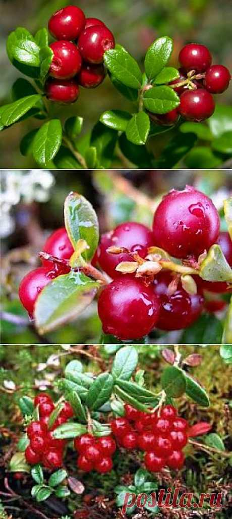 Брусника - ягода то необычная, а лечебная!