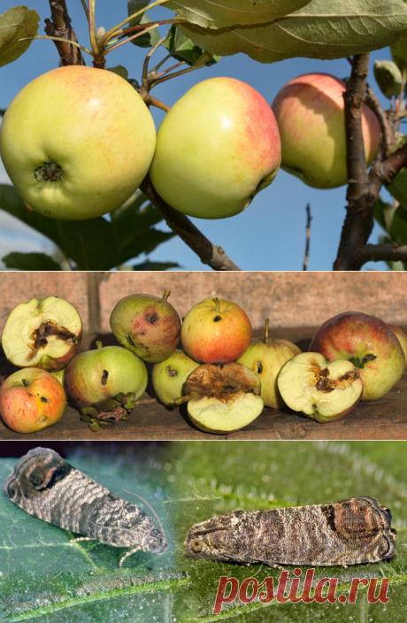 Об эффективных способах борьбы с плодожоркой от опытного садовода — 6 соток