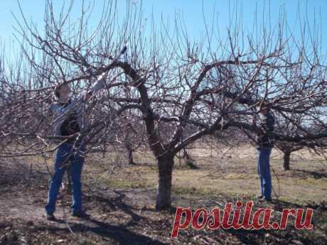 Как омолодить старую яблоню – полезные советы для начинающих | Яблоня, груша (Огород.ru)
