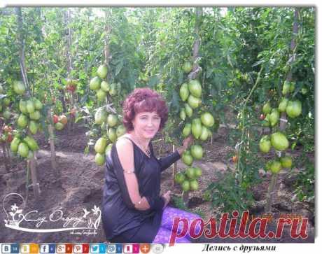 Нужно ли обрывать листья у томатов? «Конечно листья у томатов нужно обрывать,…