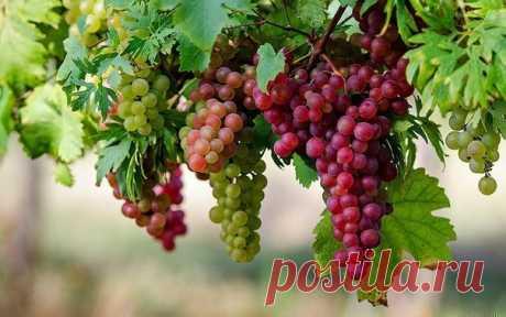 Если лоза хорошая, а винограда мало | Дачный сад и огород