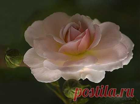 Розовая роза.