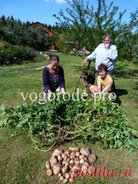 Чешский способ выращивания картофеля. -