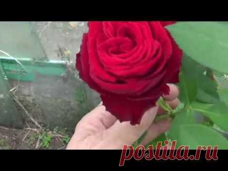 Осенний опыт укорениния розовых черенков