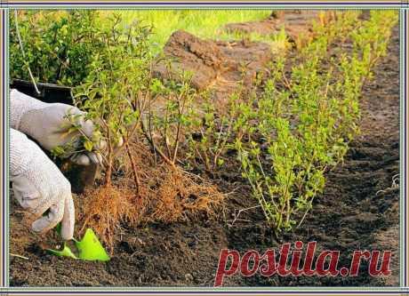 Стала сажать смородину по-другому, теперь с урожаем ягод нет проблем | Добрый дачник | Яндекс Дзен