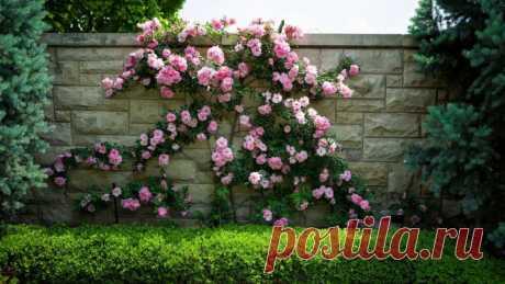 17 быстрорастущих вьющихся растений для забора Какие выбрать вьющиеся растения для забора? Многолетние, однолетники, зимостойкие, неприхотливые, растения с цветами или вечнозеленые?