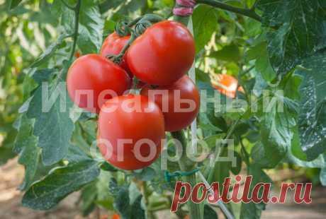 Золотые правила высокого урожая помидоров | Идеальный огород | Яндекс Дзен