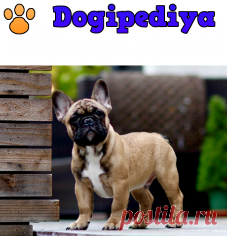 Французский бульдог – фото, описание породы, характер, цена щенков