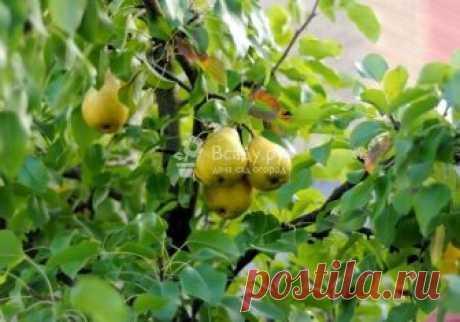 Посадка груши: выбор саженца, подготовка ямы Когда высаживать грушу весной и осенью, какие саженцы выбрать. Органические и минеральные удобрения для груши, как подготовить яму для высаживания