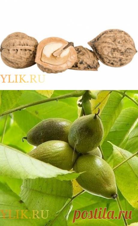 Настойки на водке из маньчжурского ореха и их свойства: фото- и видеообзор