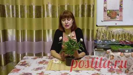 Как уберечь комнатную розу? Как вырастить в домашних условиях!