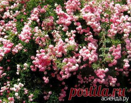 Обрезка роз. часть 5. Плетистые розы.: Группа Цветы и флористика