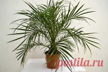 Как вырастить большую финиковую пальму из маленькой косточки | Секреты сада. Дача, цветы | Яндекс Дзен