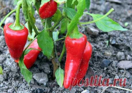 Я применяю это удобрение и урожай перцев всегда огромный | У-Дачный канал советы от Арины | Яндекс Дзен