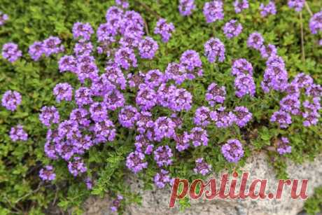 Thyme: we grow up a thyme for a bed and the house