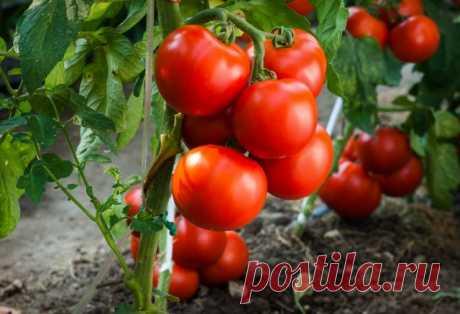 Выращиваем томаты без рассады — сорта, преимущества и недостатки метода. Агротехника — Ботаничка.ru