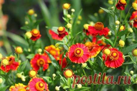 Como renovar y multiplicar de jardín mnogoletniki en primavera