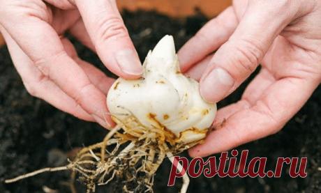 Когда срезать стебли лилий. Как обрезать, подкормить и укрыть лилии на зиму в подмосковье