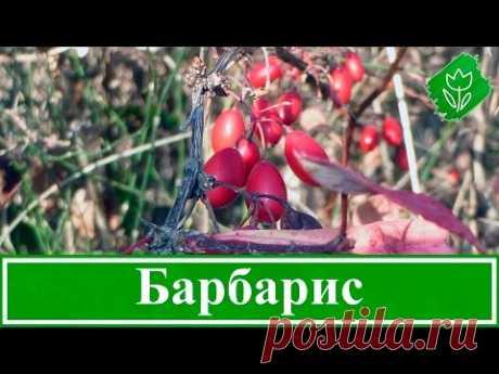 🌳 Кустарник барбарис – посадка и уход: размножение и свойства; барбарис Тунберга – описание