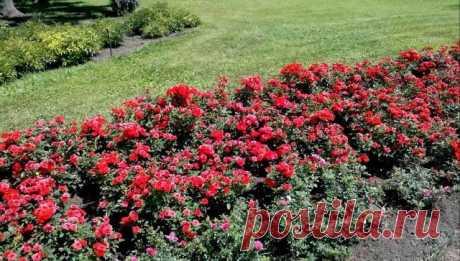 Обрезка роз весной – советы для начинающих цветоводов — Мир интересного