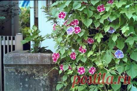 Выращивание ипомеи: размножение, посадка и уход. Виды, болезни и вредители ипомеи