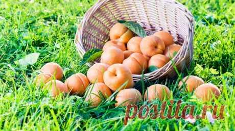 7 лучших зимостойких сортов абрикосов    С появлением зимостойких сортов абрикос перестал быть экзотом, ведь сегодня в средней полосе России можно самостоятельно вырастить на участке плодоносящее деревце. Главное – выбрать подходящий сорт…