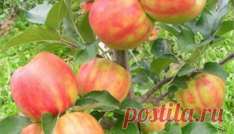 Низкорослые сорта яблонь, которые рано начинают плодоносить, устойчивы к заболеваниям и обладают высокими вкусовыми качествами | Щедрый СадОгород | Яндекс Дзен