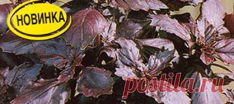 Базилик овощной Гранат, 0,1 г Урожай дома Крупнолистный ранний сорт, специально созданный для горшечной культуры. Период от всходов до цветения 45-55 дней. По виду напоминает классический итал...