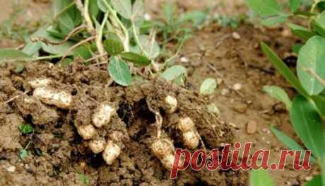 Как посадить арахис и получить хороший урожай