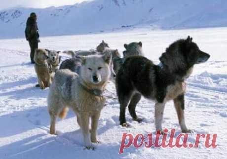 Самые выносливые собаки в мире