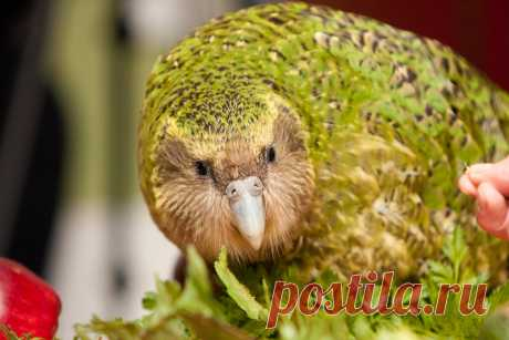 """Самый толстый попугай -какапо в мире стал """"Птицей года!"""