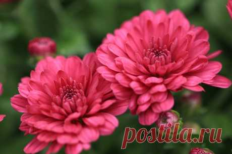 Хризантемы красивые цветы даже поздней осенью
