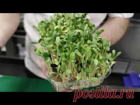 Выращивание микрозелени #подсолнечник