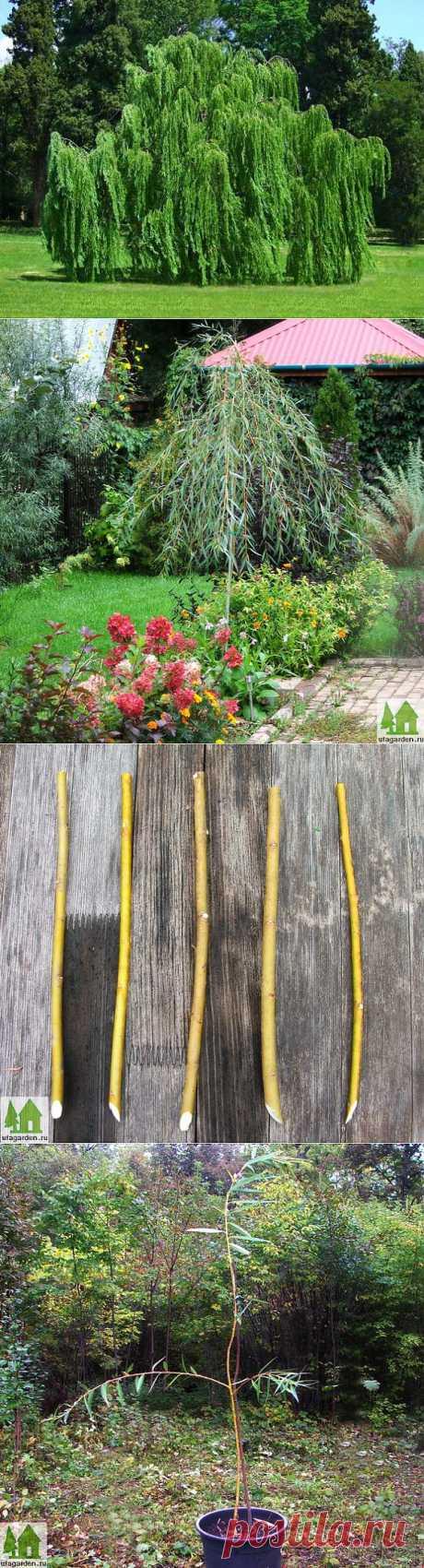 Плакучая ива | Дачная жизнь - сад, огород, дача