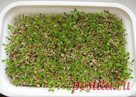 Выращивание примулы из семян: рекомендации селекционера | Личный опыт (Огород.ru)