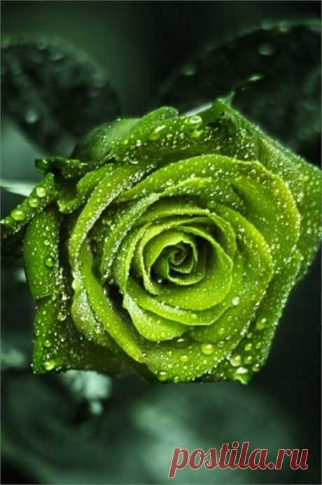 Beautiful Rose | Flora and Fauna