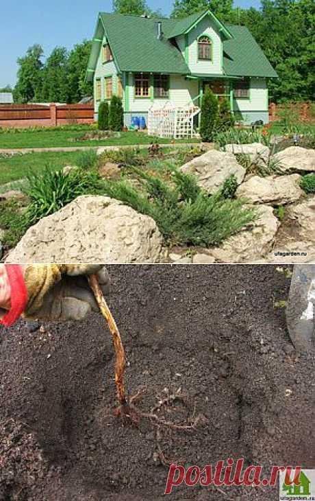Посадка ремонтантной малины | Дачная жизнь - сад, огород, дача