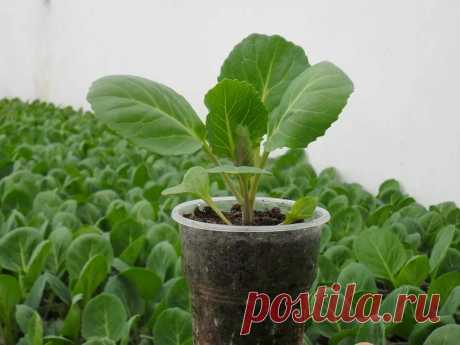 Хотите рекордный урожай Капусты в новом году? Научитесь правильно выращивать здоровую Рассаду | Все о цветоводстве | Яндекс Дзен