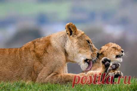 Животные в фотографиях Жизнь самых интересных животных из разных уголков мира. Вомбат в Центре спасения дикой природы в Робертсоне, Австралия. Вомбаты — роющие норы травоядные