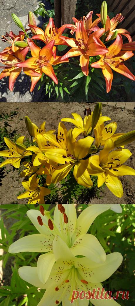Прекрасные лилии - украшение сада: посадка, уход и размножение (много фото)! | 6 соток. Светлана Аниканова | Яндекс Дзен #цветы #лилии #сад #rогород #дача #flowers #garden