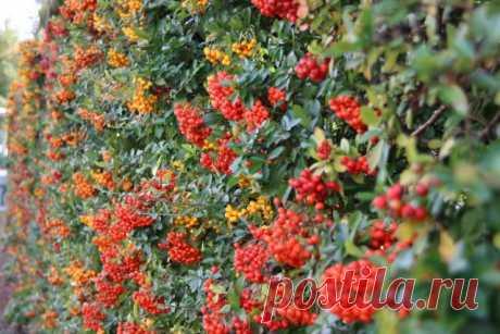 Живые изгороди из плодовых кустарников — и вкусно, и красиво. Описание видов, особенности создания. Фото — Ботаничка.ru