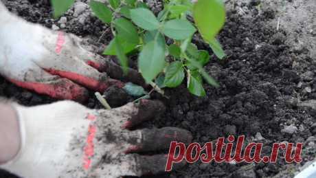 Как высадить саженцы роз в открытый грунт правильно? Видео — Ботаничка.ru